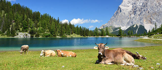 mountain lake with cows